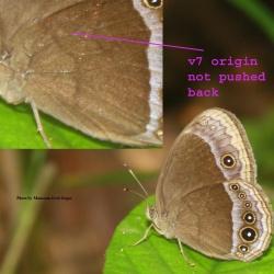 Lilacine Bushbrown - Mycalesis francisca sanatana