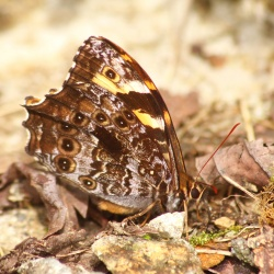Subfamily Satyrinae <br>&nbsp;&nbsp;&nbsp; Genus Neope ( The Treebrowns, Forester, Woodbrown, Forks, Labyrinth, Mystic )