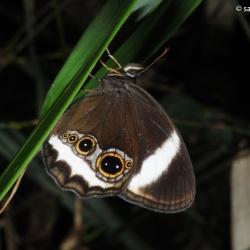 Subfamily Satyrinae <br>&nbsp;&nbsp;&nbsp; Genus Zipaetis (The Catseye)