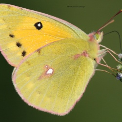 Subfamily Coliadinae (The Yellows ) <br>&nbsp;&nbsp;&nbsp; Genus Colias ( The Clouded Yellows )