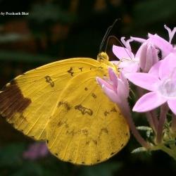 Subfamily Coliadinae (The Yellows ) <br>&nbsp;&nbsp;&nbsp; Genus Eurema ( The Grass Yellows )