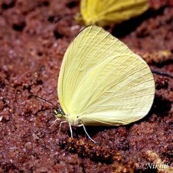 Subfamily Coliadinae (The Yellows ) <br>&nbsp;&nbsp;&nbsp; Genus Gandaca ( The Tree Yellow )