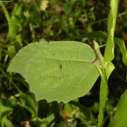 Subfamily Coliadinae (The Yellows ) <br>&nbsp;&nbsp;&nbsp; Genus Gonepteryx ( The Brimstones )