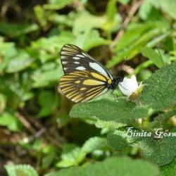 Subfamily Pierinae (The Whites ) <br>&nbsp;&nbsp;&nbsp; Genus Aporia ( The Blackveins )