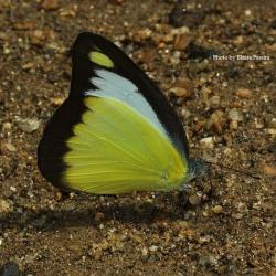 Subfamily Pierinae (The Whites ) <br>&nbsp;&nbsp;&nbsp; Genus Appias ( The Puffins and Albatrosses )