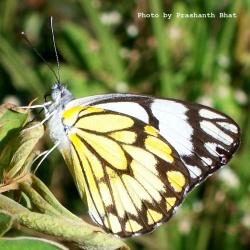 Subfamily Pierinae (The Whites ) <br>&nbsp;&nbsp;&nbsp; Genus Belenois ( The Pioneers )