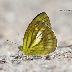 Subfamily Pierinae (The Whites ) <br>&nbsp;&nbsp;&nbsp; Genus Cepora ( The Gulls )