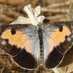 Subfamily Pierinae (The Whites ) <br>&nbsp;&nbsp;&nbsp; Genus Colotis ( The Arabs and Crimson Tip)