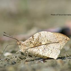 Subfamily Pierinae (The Whites ) <br>&nbsp;&nbsp;&nbsp; Genus Hebomoia ( The Great Orange Tip )