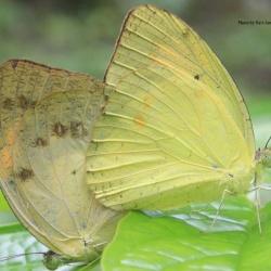 Subfamily Pierinae (The Whites ) <br>&nbsp;&nbsp;&nbsp; Genus Ixias ( The Orange Tips )