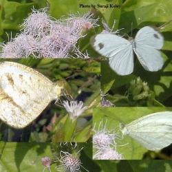 Subfamily Pierinae (The Whites ) <br>&nbsp;&nbsp;&nbsp; Genus Leptosia ( The Psyche )