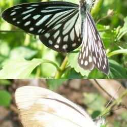 Subfamily Pierinae (The Whites ) <br>&nbsp;&nbsp;&nbsp; Genus Pareronia ( The Wanderers )