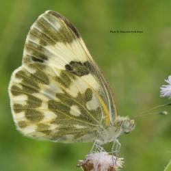 Subfamily Pierinae (The Whites ) <br>&nbsp;&nbsp;&nbsp; Genus Pontia ( The Bath Whites )