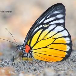 Subfamily Pierinae (The Whites ) <br>&nbsp;&nbsp;&nbsp; Genus Prioneris (The Sawtooths)