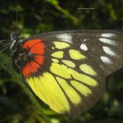 Subfamily Pierinae (The Whites )<br>&nbsp;&nbsp;&nbsp; Genus Delias (The Jezebels)