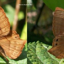 Butterflies<br>&nbsp;&nbsp;&nbsp;Riodinidae(Punches & Judies)<br>