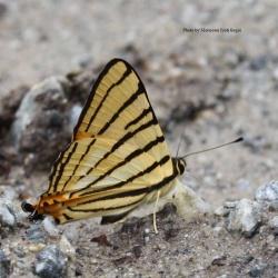 Subfamily Riodininae <br>&nbsp;&nbsp;&nbsp; Genus Dodona ( The Punches )