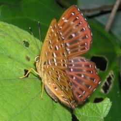 Subfamily Riodininae <br>&nbsp;&nbsp;&nbsp; Genus Zemeros ( The Punchinello )