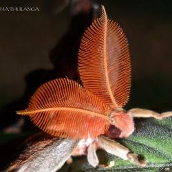 Family: Saturniidae