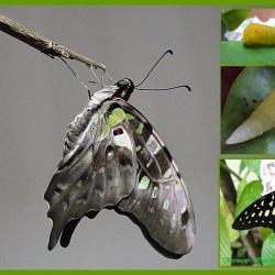 Swallowtails - Papilionidae