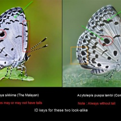 Megisba malaya sikkima ( The Malayan ) Vs Acytolepis puspa lambi ( Common Hedge Blue)