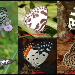 Comparison of Pierrots ( Castalius, Discolampa, Caleta, Talicada, Tarucus )