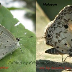 Common Hedge Blue -- Acytolepis puspa Horsfieldii, 1828 vs Malayan -- Megisba malaya Horsfield, 1828