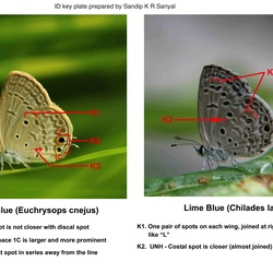 Blues ( Chilades  and Catachrysops ) identification keys