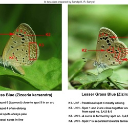 Grass Blues ( Zizeeria , Pseudozizeeria , Zizina and Zizula ) identification keys