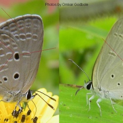 Comparing Plains cupid (Chilades pandava) and Gram blue (Euchrysops cnejus)