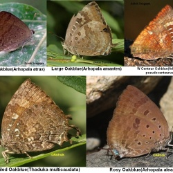 Oakblues ( Arhopala spp. and Thaduka sp. )