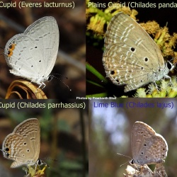 Comparison of Cupids ( Everes and Chilades)