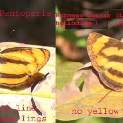 Comparison of Perak Lascar ( Pantoporia paraka Butler, 1879 ) and Burmese Lascar (Lasippa heliodore Fabricius, 1787)