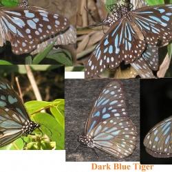 Comparison between Tigers ( Tirumala and Parantica )