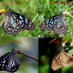 Tigers ( Parantica and Tirumala )