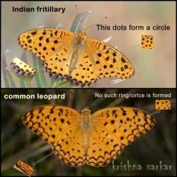 Common Leopard -- Phalanta phalantha Drury, 1773 vs Indian Fritillary -- Argynnis hyperbius Linnaeus, 1763