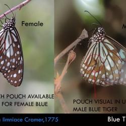 Dark Blue Tiger -- Tirumala septentrionis Butler, 1874 ( Male vs Female  )