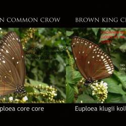 Common Crow ( Euploea core Cramer, 1780 ) vs Brown King Crow ( Euploea klugii Moore, 1858 )