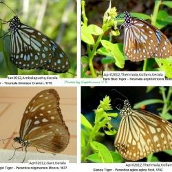 Tigers ( Parantica spp. & Tirumala spp. ) By Gopakumar V R