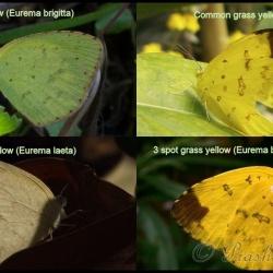 Comparison of Grass Yellows ( Eurema )