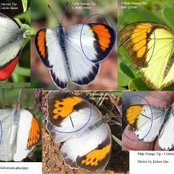 Tips ( Colotis , Ixias and Hebomoia )