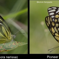 Comparison between mating pairs of Pioneer ( Belenois aurota ) and Common Gull ( Cepora nerissa )