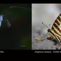 Spot Swordtail — Graphium nomius Esper, 1793 vs Chain Swordtail — Graphium aristeus Stoll, 1782