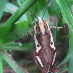 Family : Noctuidae