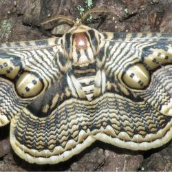 Family: Brahmaeidae