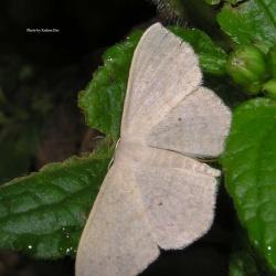 Family: Thyrididae