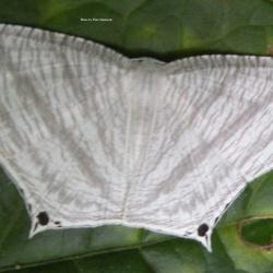 Family: Uraniidae