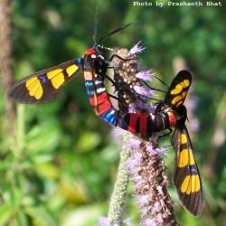 Family:Arctiidae
